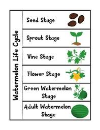 Life Cycle Of A Pumpkin Seed Worksheet by Watermelon Life Cycle By The K 2 Guru Teachers Pay Teachers
