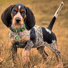 Do Bluetick Coonhounds Shed by The Redbone Coonhound Is A Medium To Large Hound Dog Whose Muscles