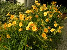 should you eat your daylilies delishably