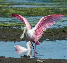 100 Brays Island These Two Beautiful Spoonbills Captured