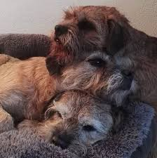 Border Terrier Non Shedding by 159 Best Border Terriers Images On Pinterest Terriers Border