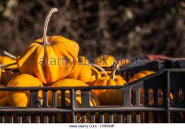 Half Moon Bay Pumpkin Patch 2017 by Pumpkin California Stock Photos U0026 Pumpkin California Stock Images