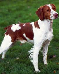 Good Big Non Shedding Dogs by 147 Best Medium Dog Breeds Images On Pinterest Little Dogs Big