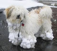 lhasa apso puppy shedding lhasa apso breed information and pictures