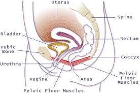 pelvic floor muscle rehabilitation avizora atajo