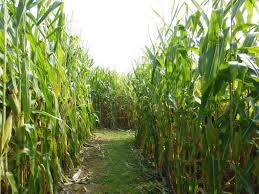 Pumpkin Patch Pittsburgh North Hills by Get Lost In These 8 Awesome Corn Mazes Around Pittsburgh This Fall