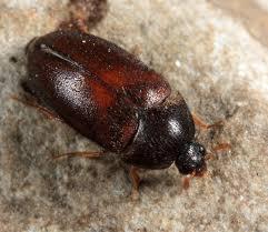Carpet Weevil Pictures by Black Carpet Beetle Attagenus Bugguide Net