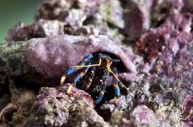 Halloween Hermit Crab Care by Aquarium Invertebrates Hermit Crabs U2014 Advanced Aquarist