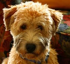 28 wheaten terriers do they shed puppies handsomedogs irish