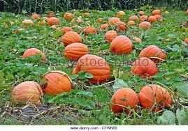 Pumpkin Picking In Ct by Pumpkin Patch Stock Photos U0026 Pumpkin Patch Stock Images Alamy