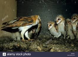 Barn Owl (Tyto Alba), Family Tytonidae, Parent Bird Bringing Its ... Usda Studying Iowa Rodents For Avian Flu Public Radio Subtle Elegancebarn Owl Canvas Print Art By Catherine Dubuque County Part Of Barn Owl Boom As Orphaned Owlets Find Home J Thaddeus Ozarks Cookie Jars And Other Larks Love These Meeces Deer Mice Mouse Control Rats New York Stock Photos Images Alamy Barn Cat Traing To Hunt Mice Youtube Tyto Alba Family Tytonidae Parent Bird Bring Its Removal Houston Dallas Fworth 911 Wildlife