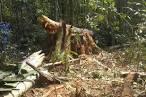 imagem de Seringueiras Rondônia n-15
