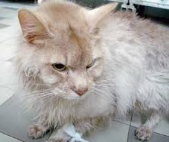 renal failure in cats chronic renal disease cat