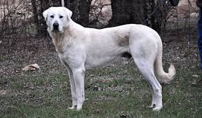 House Dogs That Dont Shed by Akbash Breed Information