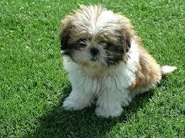 Non Shedding Dogs Small To Medium by Large Dog Breeds Non Shedding Maconbourgogne