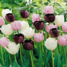 buy your tulip bulbs direct from the growers