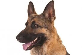 Shedding Blade German Shepherd by German Shepherd Gsd Dog Breed Information American Kennel Club