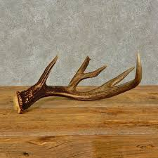 Deer Antler Shed Hunting by Whitetail Deer Antler Shed For Sale 16440 The Taxidermy Store