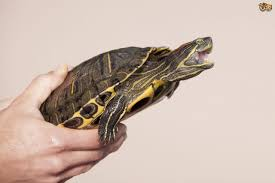 Turtle Shell Not Shedding by 100 Turtle Shell Not Shedding Properly Redearslider Com