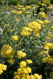 Yarrow « UC Davis Good Life Garden University Of California Davis Wikipedia From Uc Women In Stem How Susan Ustin Helped Launch A New Keeping Cows Cool With Less Water And Energy Download Map Uc Campus Major Tourist Attractions Maps Experience Virtual Reality Mhematics Project Home Michael David Winery Owners Establish Student Awards The Bike Month 2017 City Ca Haring Hall Mapionet