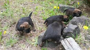 Do Border Terriers Shed by The Border Terrier In Real Life Audacious Border Terriers