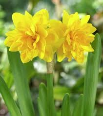 south eastern horticultural narcissus tete a tete boucle