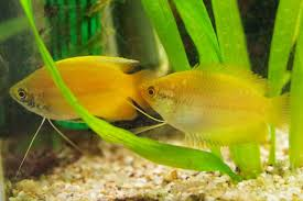 ph aquarium eau douce 2 colisa chuna 4 5cm milieu surface 25 28 ph 6