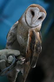 Barn Owl - 1 By Seductive-Stock On DeviantArt Barn Owl United Kingdom Eurasian Eagleowl Wallpaper Studio 10 Tens Of Barn Owl Wallpapers And Backgrounds Pictures 72 Images By Faezza On Deviantart Bird Falconry One Animal Closeup Free Image Snowy Hd 78 Sits Pole Wooden Dove Birds Images Hd 169 High Wallpaper 1680x1050 11554 Free Backgrounds At Wildlife Monodomo 2 One Online 4k Desktop For Ultra Tv Wide