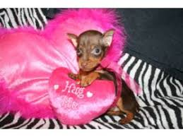 miniature pinscher breed information pictures min pin