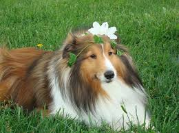 Sheltie Nation is the largest munity of Shetland Sheepdogs lovers on the net