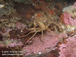 Decorator Crabs And Sea Sponges by Forest Island North End Near Sidney B C Scuba Diving Pictures