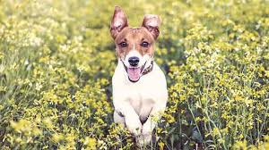 what are jack russell terriers compatible with petcarerx