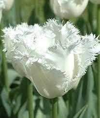 tulip honeymoon tulip bulbs at burpee