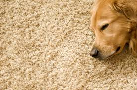 Dog Hair Carpet Removal by How To Remove Dog Hair From Carpet Van U0027s Chem Dry