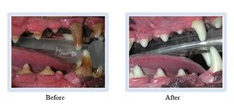 cat dental care westfield nj pet dentists cat dental exams in westfield nj