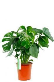 zimmerpflanzen geeignet für im schatten 123zimmerpflanzen