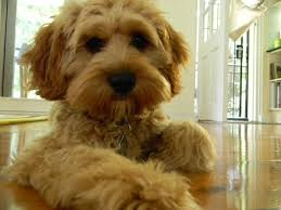 Best Non Shedding Small Dogs by This Little Face Cavapoo Puppies No Shedding Has Hair Not