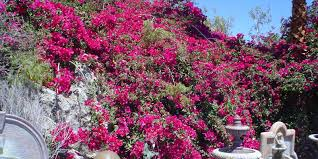 Tool Shed Bar Palm Springs Ca by Desert Bougies Can Provide Great Color To Your Garden