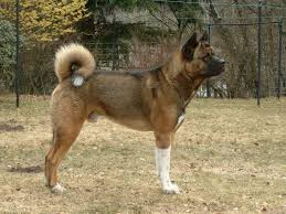 Do American Akitas Shed by The World U0027s 10 Deadliest And Most Dangerous Dog Breeds