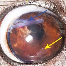 This Cornea Was Lacerated Horizontally Via Cat Claw In The Dorsal Aspect Blue