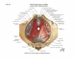 Hypertonic Pelvic Floor Muscles by 100 Hypertonic Pelvic Floor Male Meet Elvie A New Breed Of