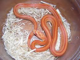 Corn Snake Shedding Signs by Reptile City Albino Striped Cornsnake C B Babies