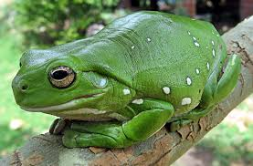 African Dwarf Frog Shedding Or Sick by Australian Green Tree Frog Wikipedia