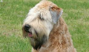 Do Wheaten Terrier Dogs Shed by Soft Coated Wheaten Terrier Dog Breed Information