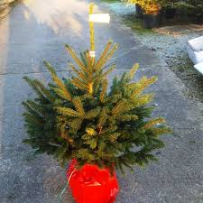 Potted Christmas Tree by Potted Blue Spruce Spruce Christmas Tree Quality Trees Uk Delivery