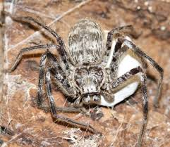 Remains Of The Day Spiders by Hidden Housemates Australia U0027s Huge And Hairy Huntsman Spiders