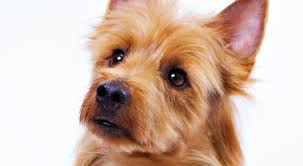 Stop Rat Terrier Shedding by Australian Terrier Dog Breed Information American Kennel Club