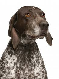 German Shorthaired Pointer Shedding by Tom And Doug Archives Spclarke Comspclarke Com