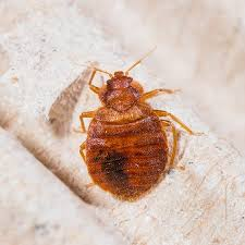What Bed Bugs Look Like and Helpful Advice