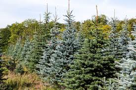 ITS THE WEEKEND How To Get The Best Real Christmas Tree For You